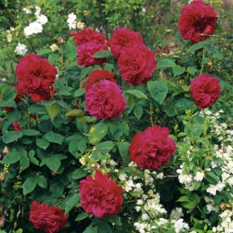 ld-braitwaite-rose