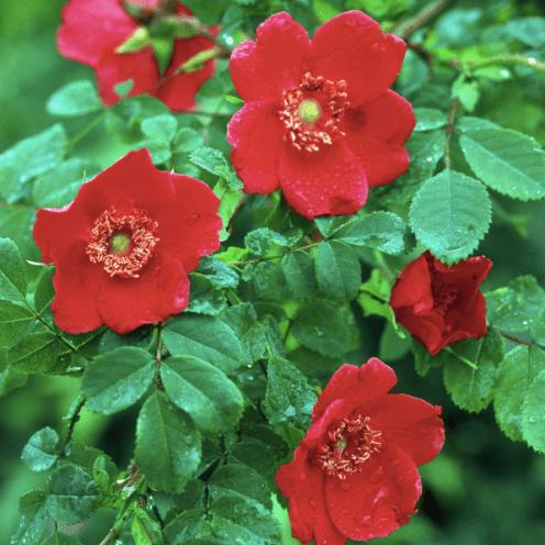 moyesii-geranium