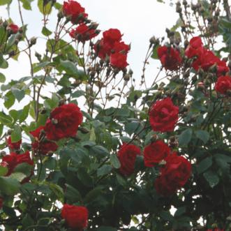pauls-scarlet3
