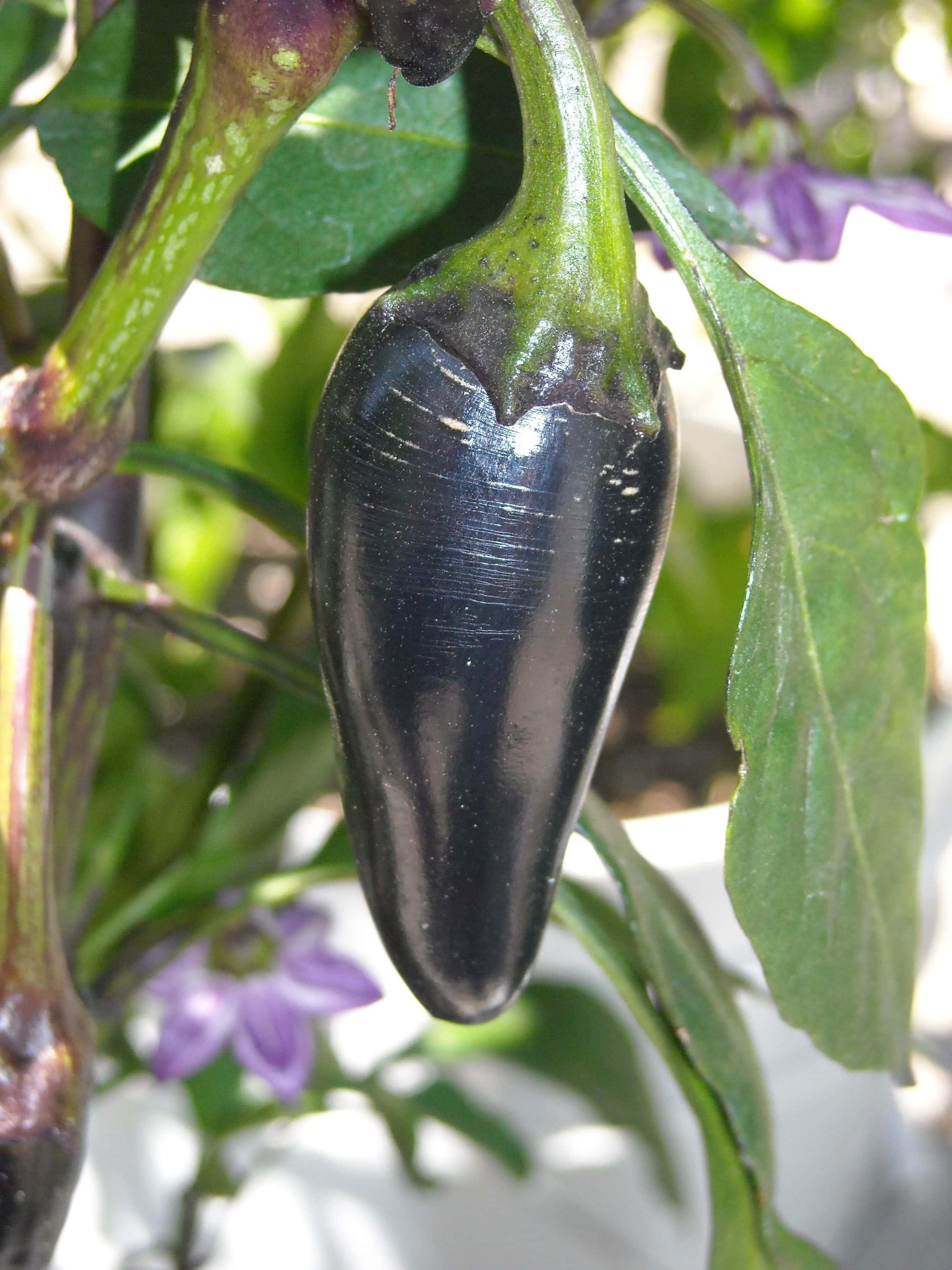 purple jalapeno pepper growing on the vine