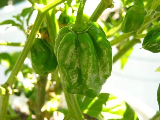 chocolate habanero pepper ripening on the vine