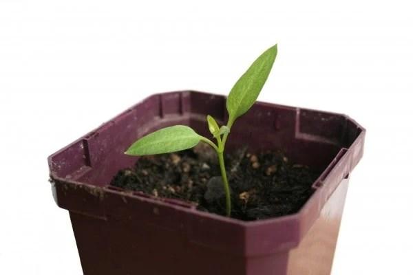 organic potting soil for pepper plants