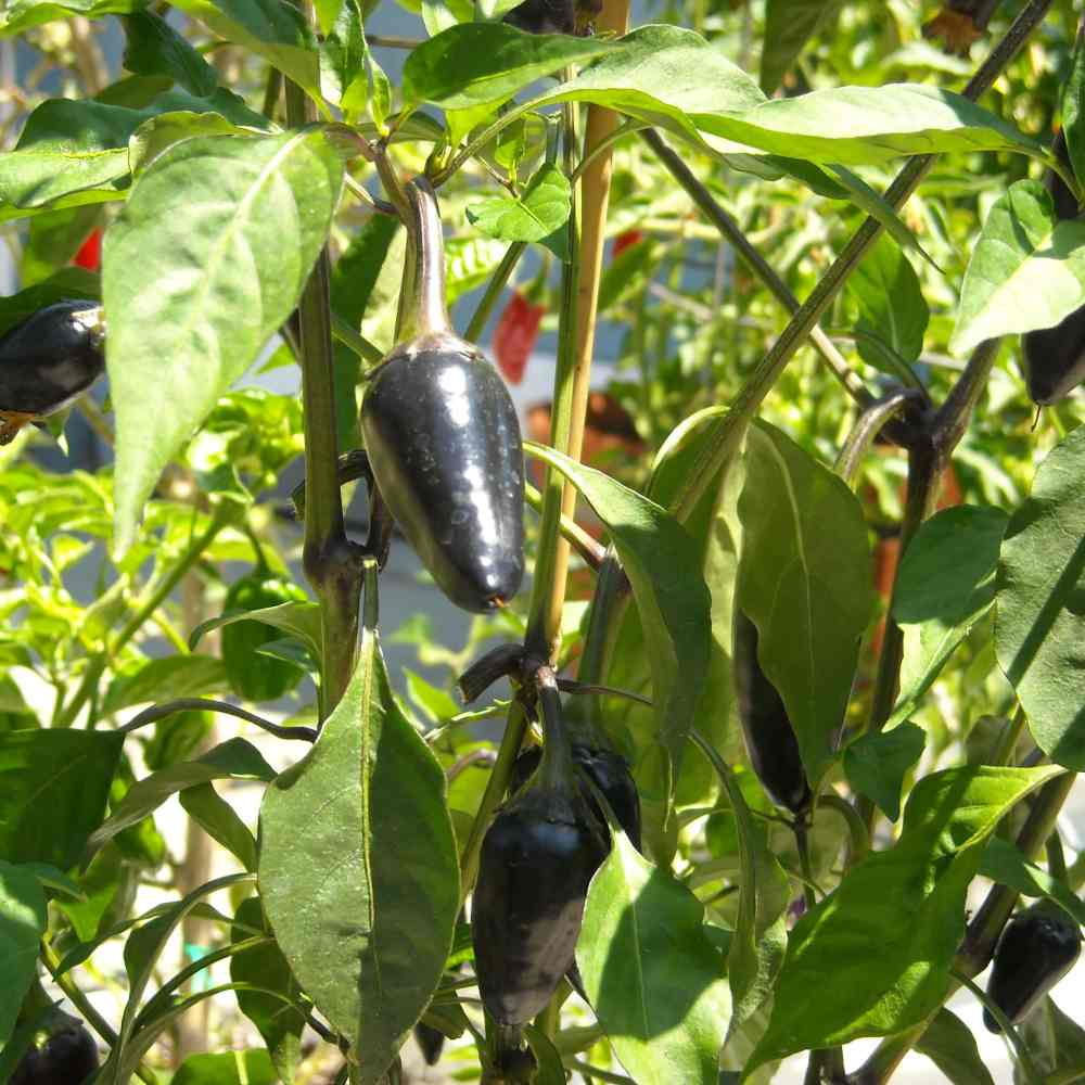 jalapeno pepper, purple jalapenos