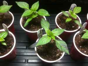 chile pepper seedlings