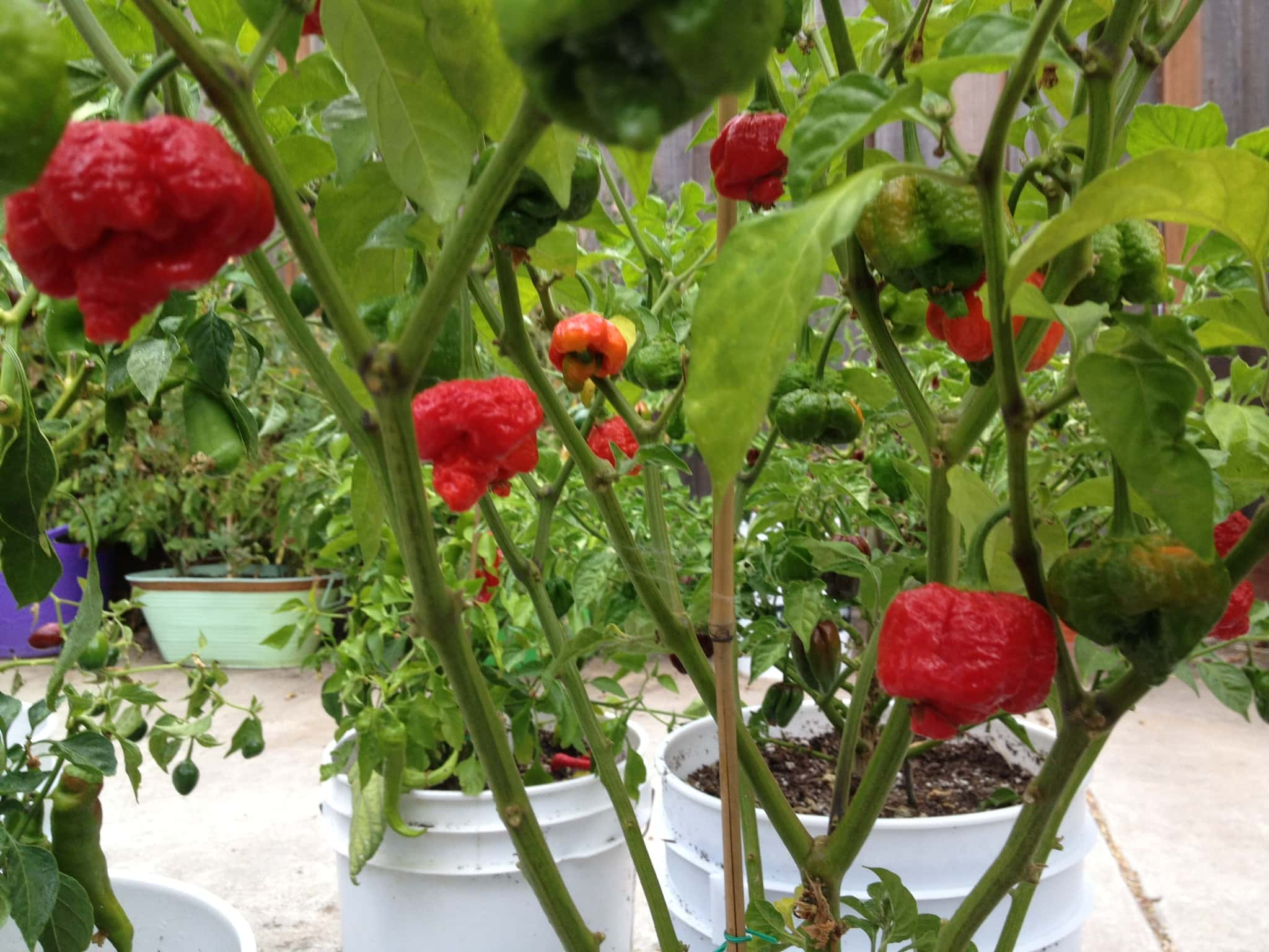 trinidad moruga scorpion peppers
