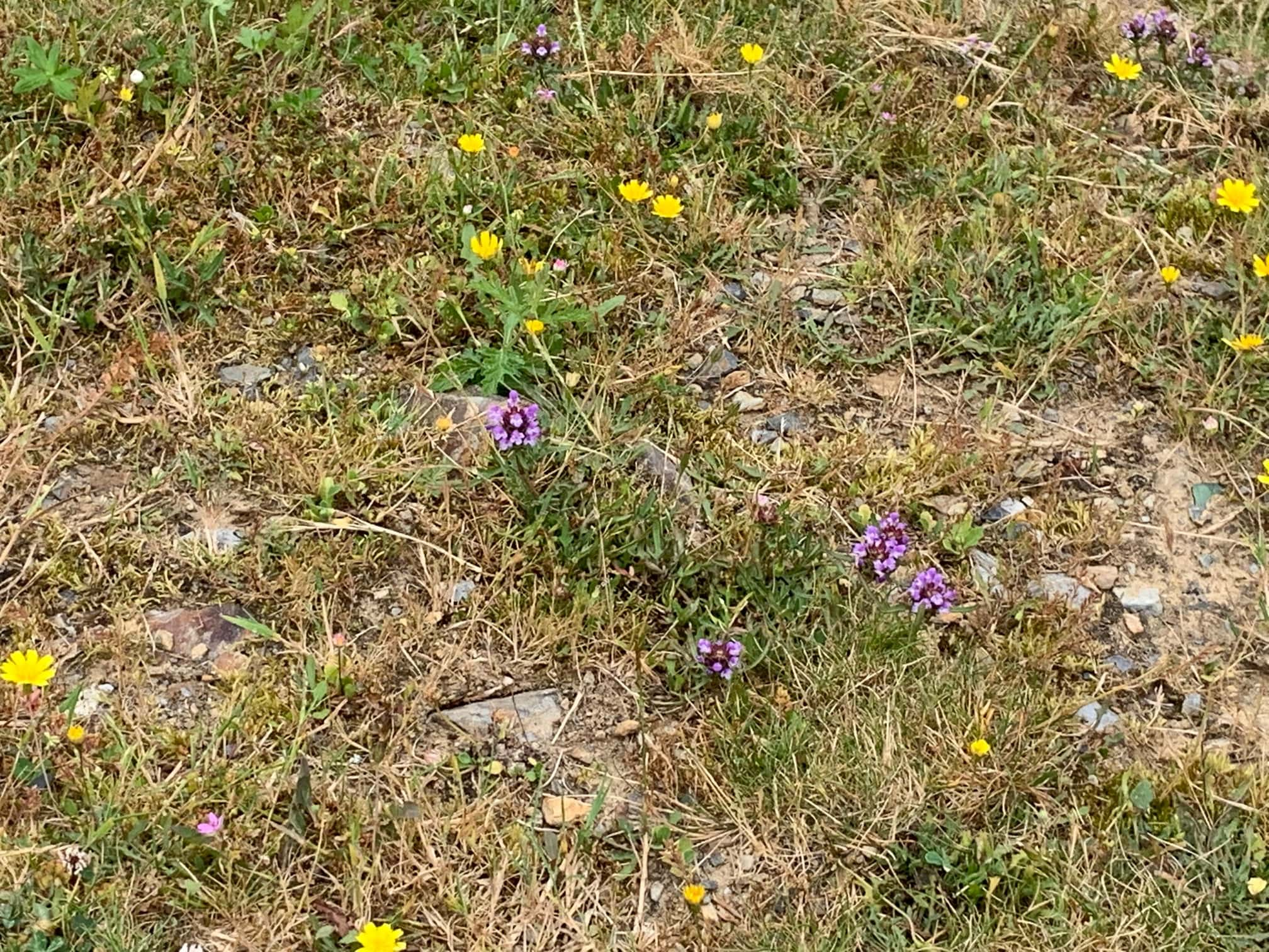Mountain flowers between Spanish Basque and French Basque sides
