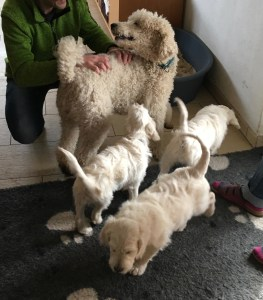 Nando the Groodle puppy with his brothers and mother
