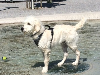 Nando the Groodle puppy in water
