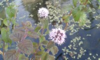 Water Mint''Mentha Aquatica' Flowers (Bee beneficial)