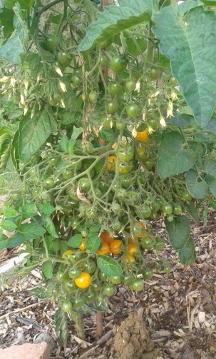 Tomatoe Millefleur with it's famous Huge Flower Trusses