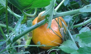Pumpkin 'Hokkaido' A Japanese variety - great for haloween