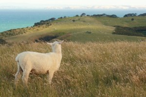 Discipleship Study - Identity - Luke 15:4-7 - My Lost Sheep- Growing As Disciples