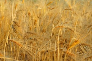 Discipleship Devotional Study Guide - Promises - Day 319 - Galatians 6:7-10 - We Will Reap A Harvest - Growing As Disciples