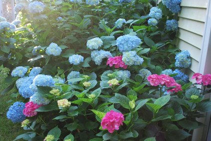 pink hydrangea, sent to me by my bunco club when Daddy died 19 years ago