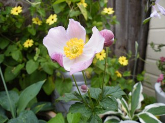 Late flowering Anemone