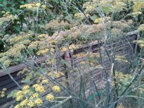 The fennel plant that has really taken off