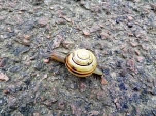 Lipped snail