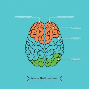 The human brain, what are executive functioning skills?