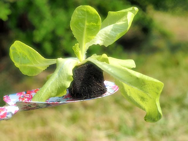 Salad leaves are so easy and fast to grow either on the windowsill or in pots.