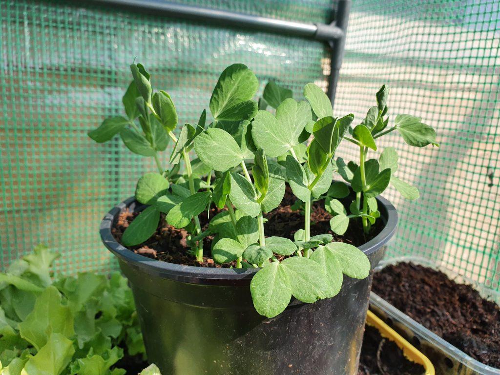 Peas grow well in pots