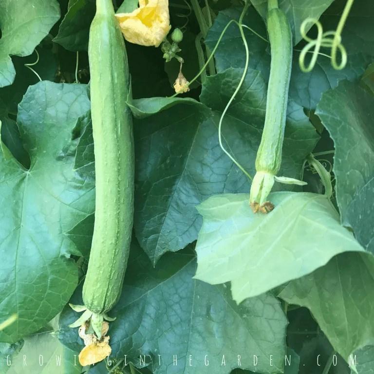 Young Luffa Gourds, Growing Luffa in the Garden How to grow luffa sponges #luffaseeds#lifecycle#howtogrowluffa#luffa#loofah#howtogarden#gardening#growingluffa#howto