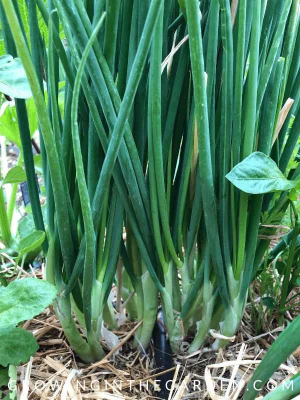 How to Grow I'itoi Onions