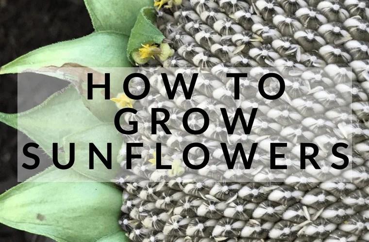 How to grow sunflowers #sunflowers #gardening #howtogrowsunflowers