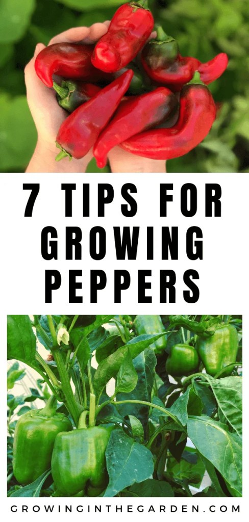 How to grow peppers - 7 tips for growing peppers #growingpeppers #howtogrowpeppers #gardeninginarizona #peppers