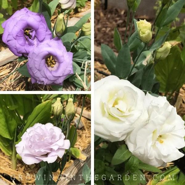 lisianthus flower in Arizona garden