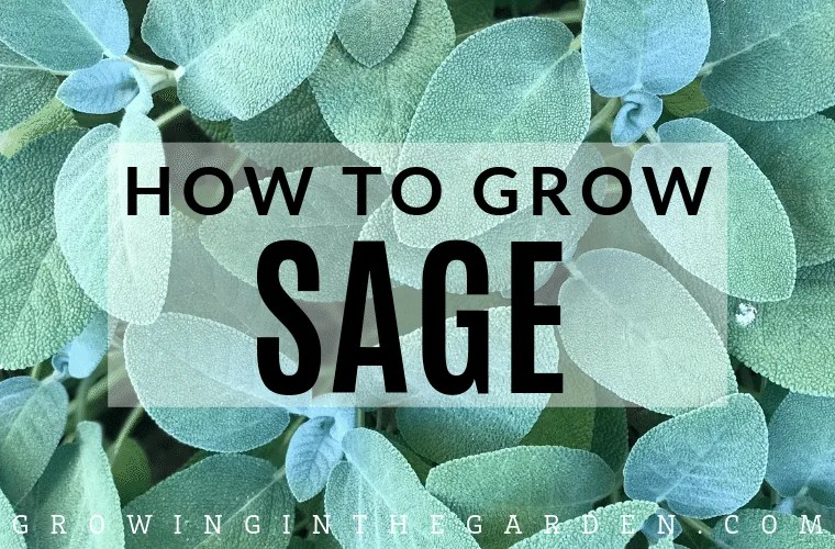 How to grow sage - tips for growing sage