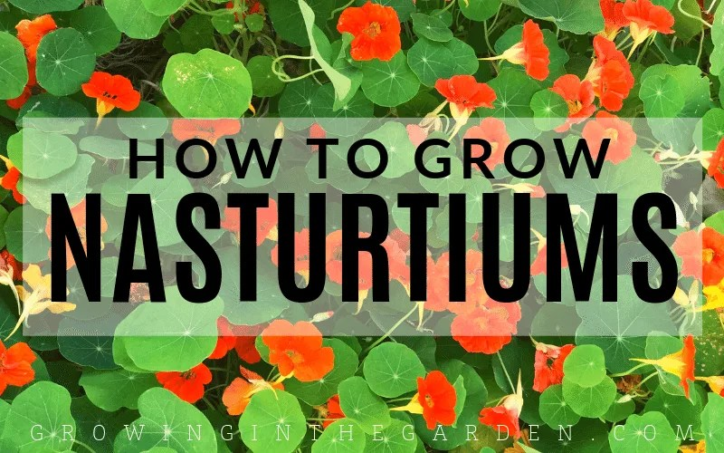 All About What Eats Nasturtium Seeds