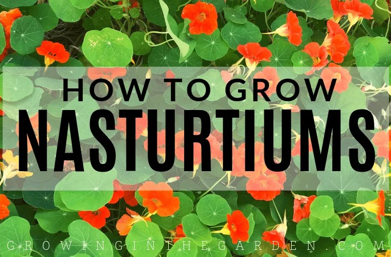 How to Grow Nasturtiums: Nasturtium Growing Guide