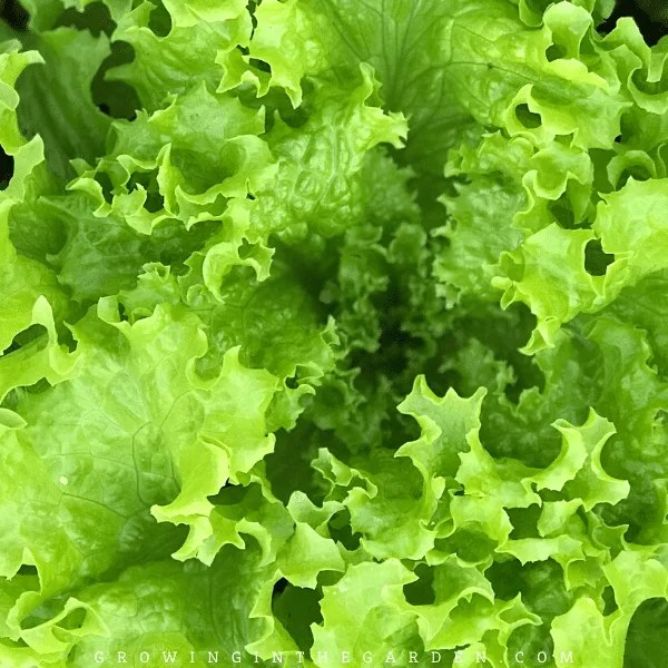Arizona Vegetable Planting Guide- When to plant lettuce in Arizona