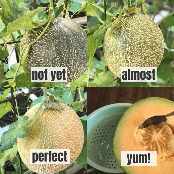 How to Grow Cantaloupe: 9 Tips for Growing Cantaloupe ...