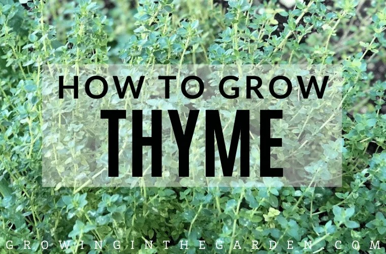 How to grow thyme - tips for growing thyme