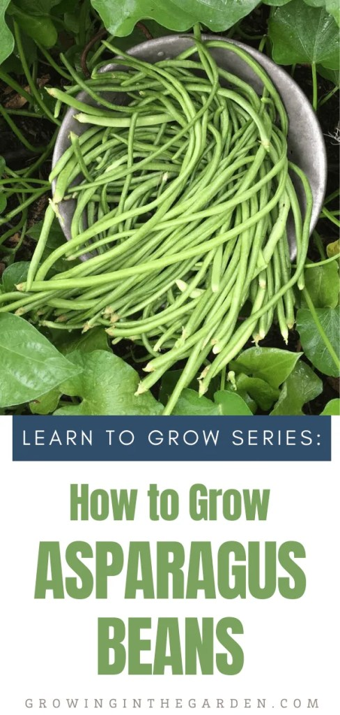How to Grow Asparagus Beans - 5 Tips for Growing Yardlong Beans