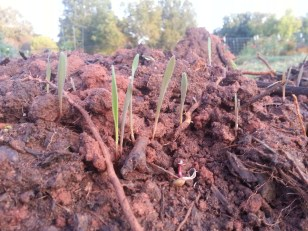 The cover crop of Winter Rye is sprouting. Soon it will transform this red clay into beautiful black soil