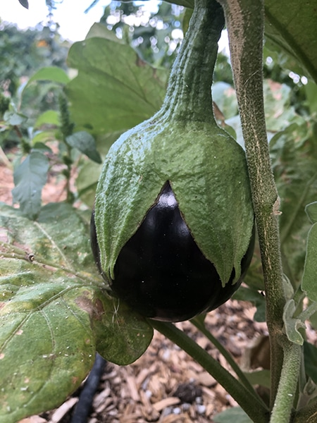 growing organic eggplants