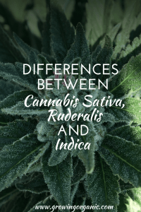 Differences Between Cannabis Sativa, Ruderalis and Indica