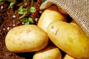 growing potatoes organically-min