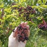The Benefits of Growing Elderberries