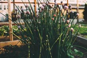 start growing chives organically