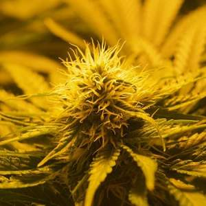 how to start cannabis seeds