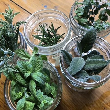 growing herbs in a mason jar