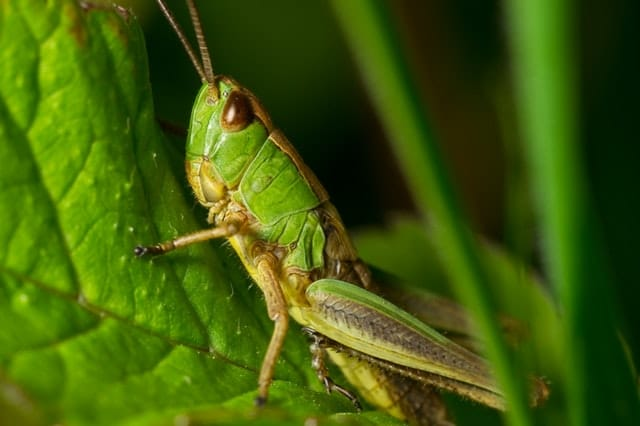 howto get rid of crickets in the garden