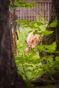 How to Get Rid of Deer