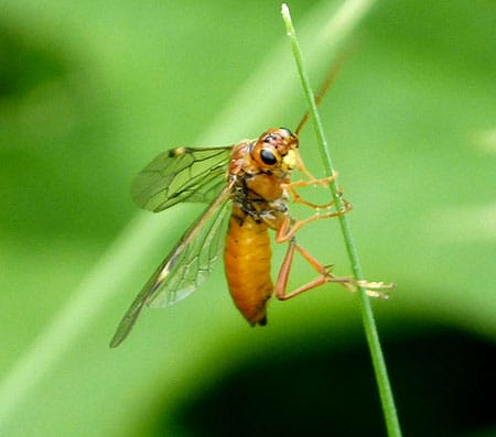 dealing with sawflies