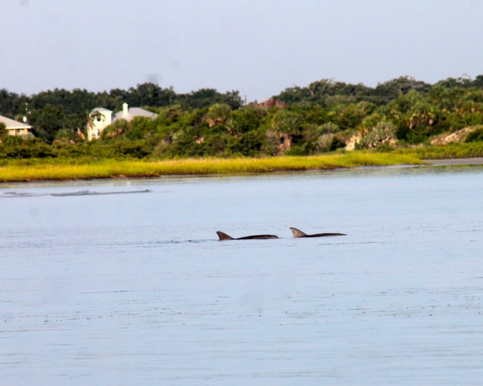 dolphins at New Smyrna beach