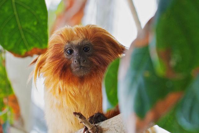 golden tamarin monkey at Baltimore Aquarium