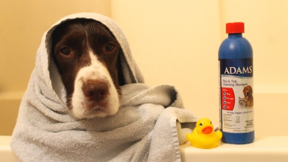 dog bath in the tub Springer Spaniel